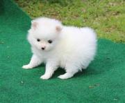 DJSJFD Stunning,  miniature White Pom  07031956739